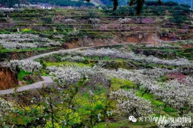 (5)遍地桃花,满山梨花,田园油菜花,一言不合全面怒放-户外活动图-驼铃网