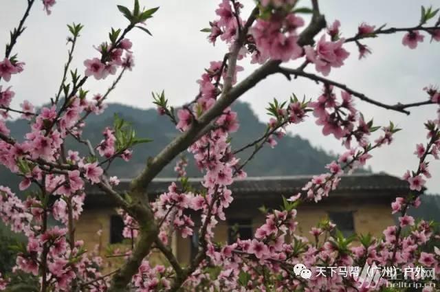 (9)遍地桃花,满山梨花,田园油菜花,一言不合全面怒放-户外活动图-驼铃网
