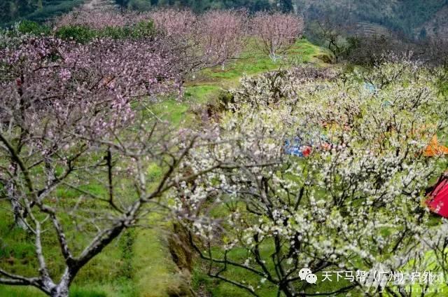 (10)遍地桃花,满山梨花,田园油菜花,一言不合全面怒放-户外活动图-驼铃网