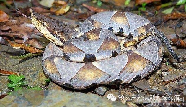 (2)三十八期 毒蛇咬伤处理与蛇草药识别-户外活动图-驼铃网