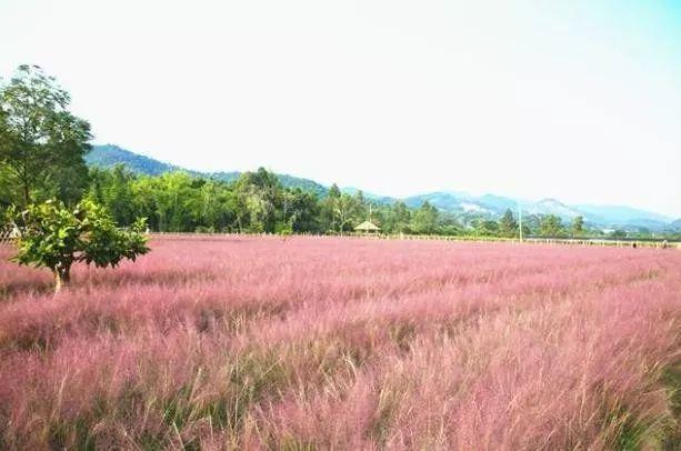 (6)(周日)秋日微风,红粉佳人徜徉在粉红田野,你约么?-户外活动图-驼铃网
