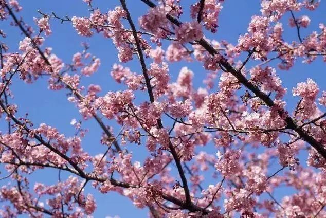 (10)2月17日(初二春节假期)从化天适樱花园+莲麻小镇休闲游-户外活动图-驼铃网