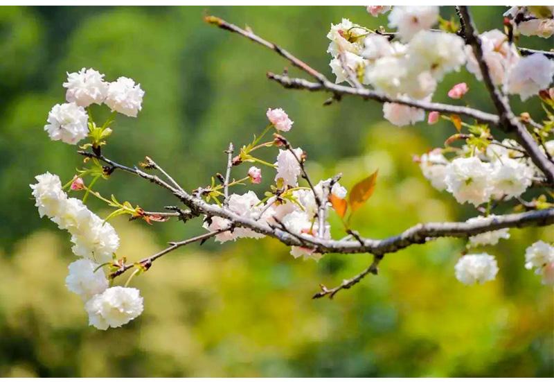 (6)【春节路线】清远佛冈田野绿世界樱花摄影休闲一日游-户外活动图-驼铃网