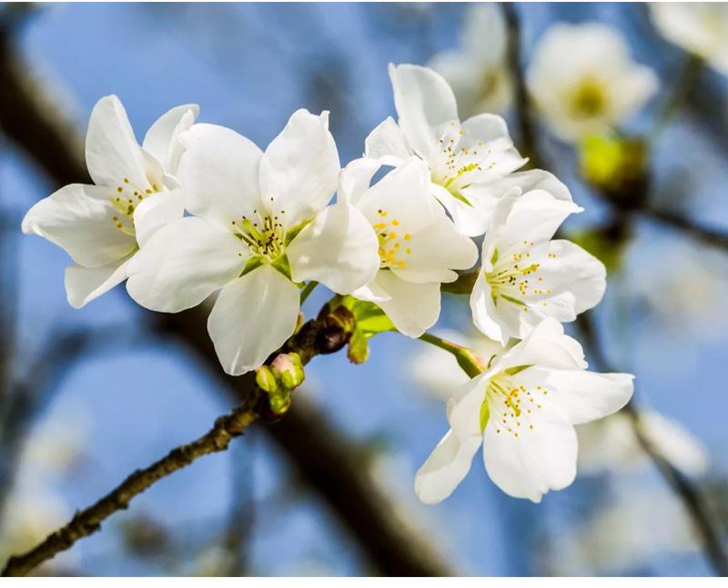 (9)【春节路线】清远佛冈田野绿世界樱花摄影休闲一日游-户外活动图-驼铃网