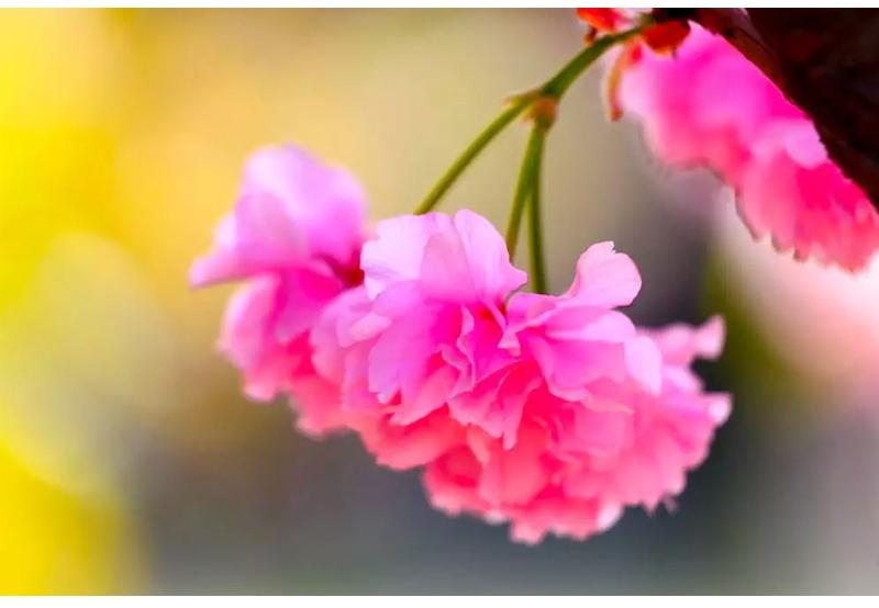 (15)【春节路线】清远佛冈田野绿世界樱花摄影休闲一日游-户外活动图-驼铃网