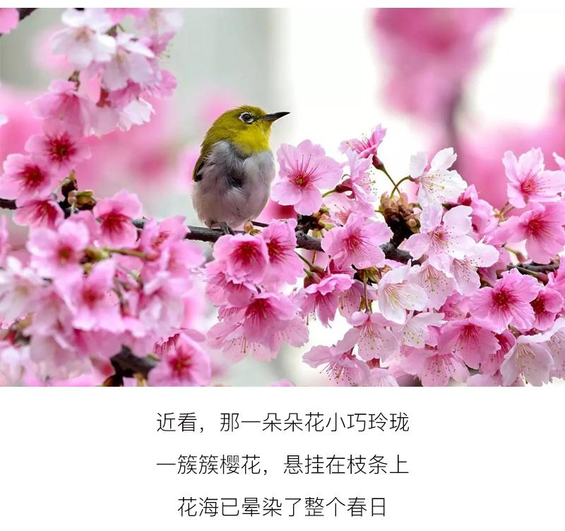 (17)【春节路线】清远佛冈田野绿世界樱花摄影休闲一日游-户外活动图-驼铃网