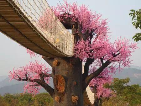 (3)2月17日(初二春节假期)从化天适樱花园+莲麻小镇休闲游-户外活动图-驼铃网