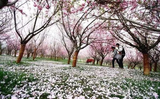 (8)2月17日(初二春节假期)从化天适樱花园+莲麻小镇休闲游-户外活动图-驼铃网