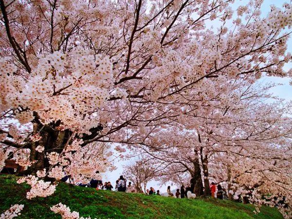 (2)2月17日(初二春节假期)从化天适樱花园+莲麻小镇休闲游-户外活动图-驼铃网