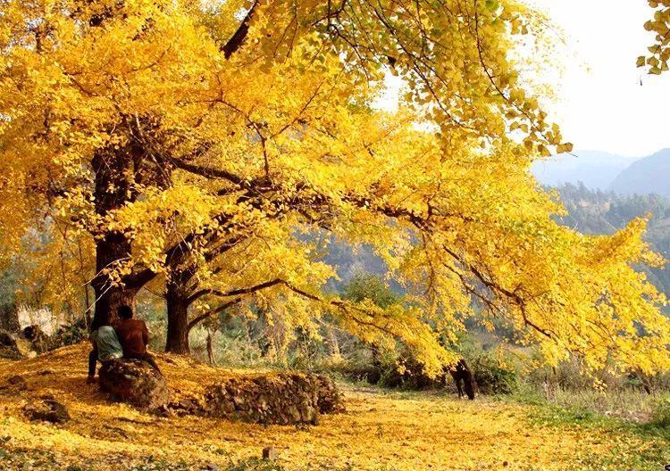 大巴出发广西灵川海洋乡看金色银杏叶 阳朔慢旅行 遇龙河骑行 西街