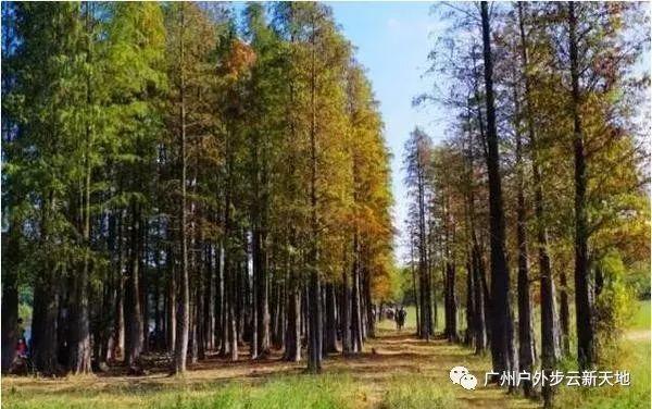 (10)【徒步开炉】1月13日徒步中山五桂山西坑尾赏金色水杉-户外活动图-驼铃网