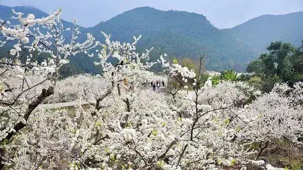 (2)【梁化赏梅】每周六日出发,看天然画卷享大自然魅力-户外活动图-驼铃网