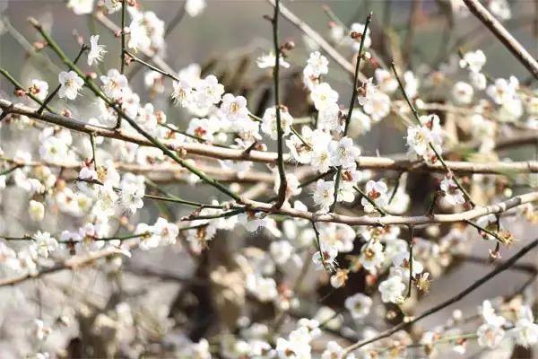 (4)【梁化赏梅】每周六日出发,看天然画卷享大自然魅力-户外活动图-驼铃网