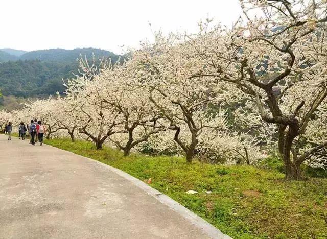 (5)【梁化赏梅】每周六日出发,看天然画卷享大自然魅力-户外活动图-驼铃网