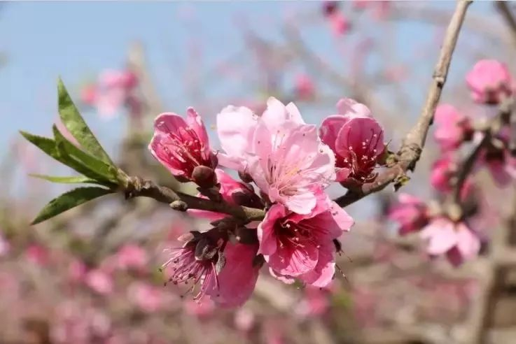 (9)【百花齐放 】美翻了!在广州附近的一个世外桃源,只有走过这些地方才算是度过了春天!-户外活动图-驼铃网