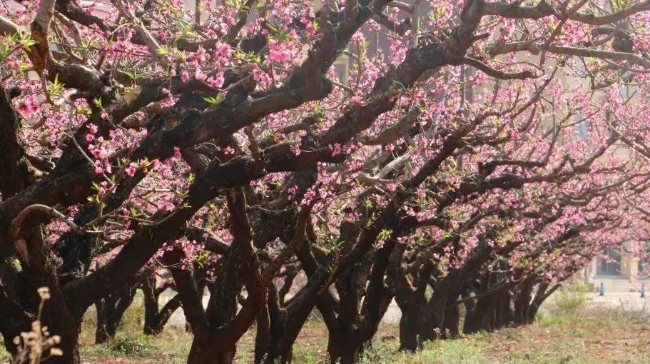 (13)超值398元!【百花齐放 】美翻了!在广州附近的一个世外桃源,只有走过这些地方才算是度过了春天!-户外活动图-驼铃网