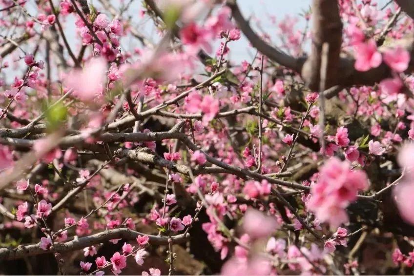 (14)超值398元!【百花齐放 】美翻了!在广州附近的一个世外桃源,只有走过这些地方才算是度过了春天!-户外活动图-驼铃网