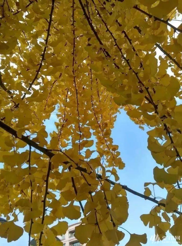 (7)特价69元 会员39元 11月29日赏粤北醉美百亩银杏林、千年银杏树,这个秋天邀您走进粤北最美银杏村出-户外活动图-驼铃网