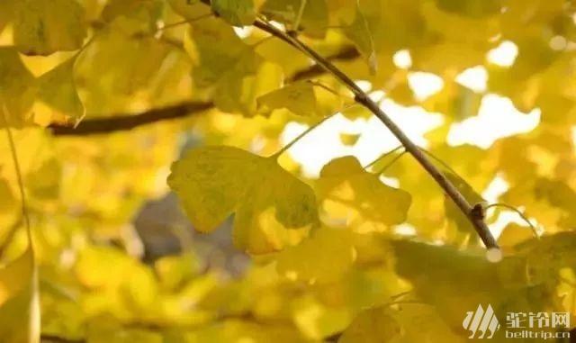 (3)特价69元 会员39元 11月29日赏粤北醉美百亩银杏林、千年银杏树,这个秋天邀您走进粤北最美银杏村出-户外活动图-驼铃网