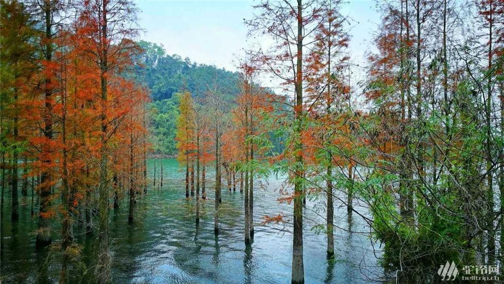 (3)中山西坑尾…六星营地尝最美水杉-户外活动图-驼铃网